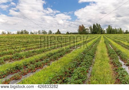 Picking Strawberries In The Field. Finnish Agriculture. Self-picking Of Berries. Harvesting. Photo.