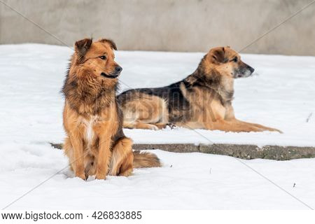 Two Dog In The Winter In The Snow, One Dog Sitting, The Other Dog Lying In The Snow. Animals In Wint
