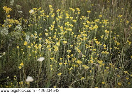 Helichrysum Arenarium, Dwarf Everlast Or Immortelle Herbal Plant With Yellow Flowers Growing In A Fi