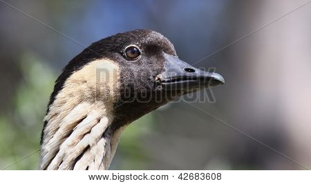 Hawaiian Goose