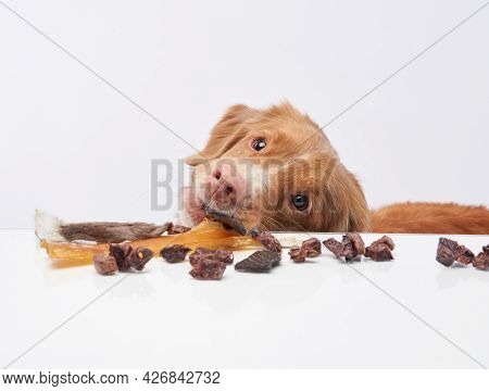 The Dog Steals Snack From The Table. Natural Pet Nutrition. Raw Feeding