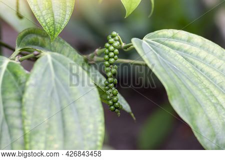 Fresh Green Peppercorns Or Piper Nigrum Linn On Tree In The Garden, Is An Ingredient In Cooking And
