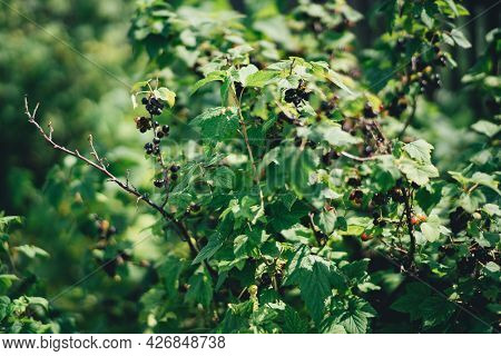 A Close-up View Of A Branch Of A Bush Of A Black Currant Berry With Bunches Of Berries, In The Summe