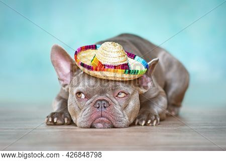 Funny French Bulldog Dog With Summer Straw Hat Lying Down In Front Of Blue Wall