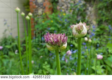 Pink Allium Buds Starting To Turn Into Flowers In Garden Setting
