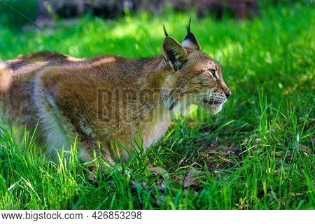 Lynx Hiding In The Grass While Stalking Its Prey.