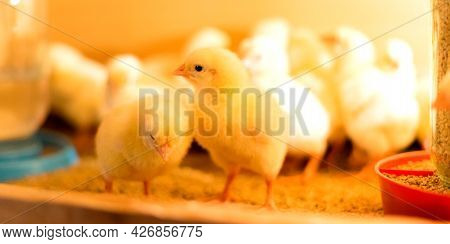 Broiler Cross Chickens In A Brooder With A Feeder And A Drinking Bowl. Two Chicks In Focus. Shallow