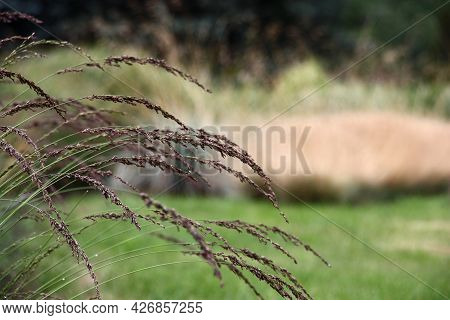 Summer Day In A Botanical Garden. Long Curved Graceful Cereal Whisks Against The Background Of A Law