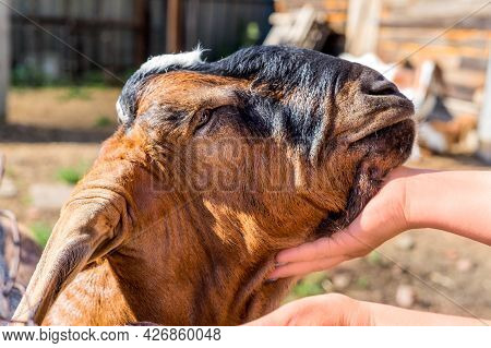 Side View Portrait Of Fold-eared And Hornless Anglo-nubian Male Goat. A Womans Hand Strokes A Goat.