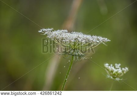 Profile View Of A Queen Anne's Lace Closeup In Full Bloom With Tiny Petals Falling Off The Flower He