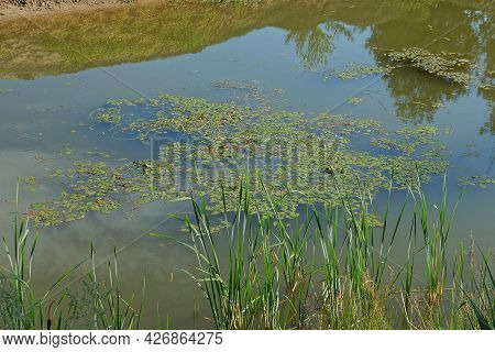 Muddy Water In A Swamp Overgrown With Green Algae And Reeds