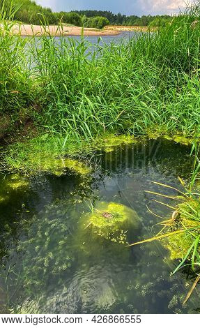 Common Green Frog Sitting In Center Of A Small Pond During Mating Season. Around The Frog Are Green