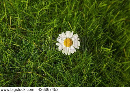 A Flower On The Grass Of The Lawn With White Chamomile Petals. Summer Space For Copying. Flatlay