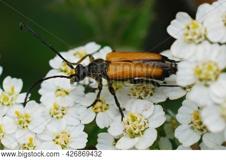 Closeup On A Tawny Longhorn Beetle, Paracorymbia Fulva On The White Flower Of Common Yarrow, Achille