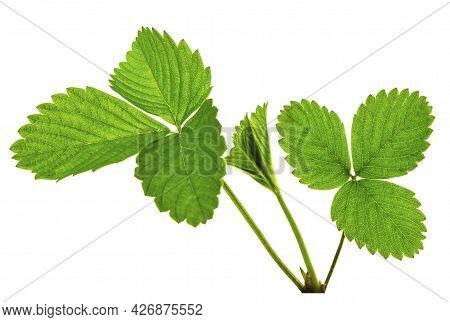 Art Green Strawberry Leaf , Strawberry Tree Leaves , Wild Strawberry Leaves Background. Bright Green