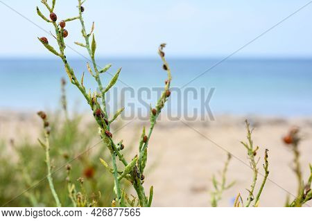 A Lot Of Ladybirds On A Green Bush Of Grass In The Background The Sea.