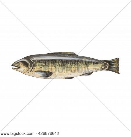 Whole Fresh Fish Salmon. Vintage Vector Hatching Color Hand Drawn Illustration Isolated On White Bac