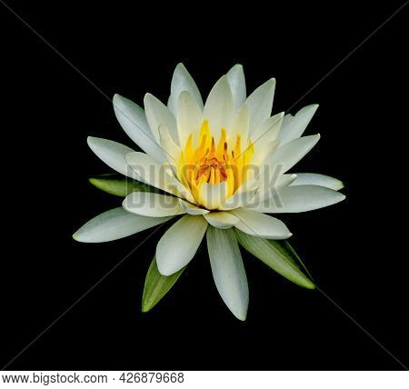 A Lotus Flower Isolated On Black Background