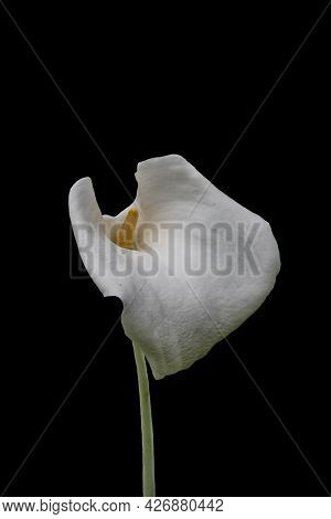 Single White Calla Lily Flower Isolated Over Black Background.