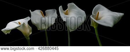 White Calla Lily Flowers Isolated Over Black Background.