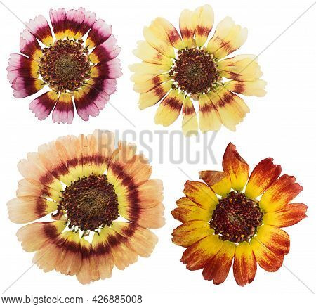 Pressed And Dried Chrysanthemum Flower, Isolated On White Background. For Use In Scrapbooking, Flori
