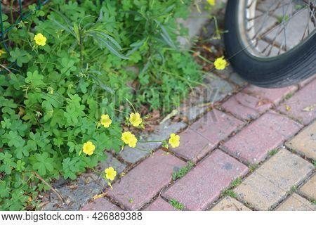 Yellow Buttercups In The Background Of A Walking Path, Bicycle Wheel, Alanya, April, 2021