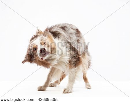 The Dog Shakes Off. Happy Border Collie With Funny Muzzle. Wet Pet