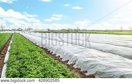 Potato Plantation Covered With Agrofibre. Opening Of Young Potato Bushes As It Warms. Hardening Of P