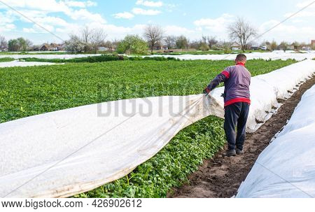 A Farmer Opens Rows Of Agrofibre Potato Bushes In Late Spring. Opening Of Young Potatoes Plants As I