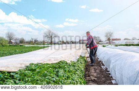 A Farmer Harvests White Spunbond Agrofibre From A Potato Plantation. Hardening Of Plants. Agroindust