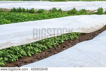 Potato Plantation Covered With Agrofibre. Opening Of Young Potato Bushes As It Warms. Greenhouse Eff