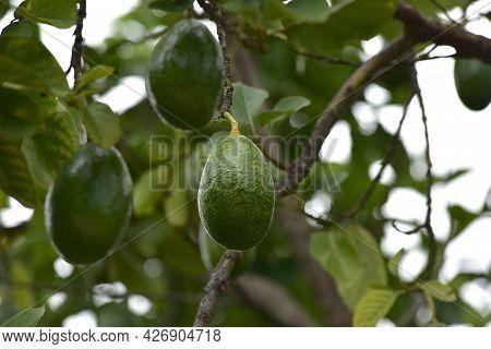 Bunch Of Fresh Avocados Ripening On An Avocado Tree Branch In Garden. Mexicola Avocado On Tree, Smoo