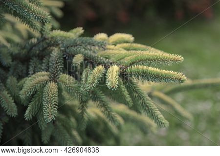 A Branch Of An Evergreen Spruce Tree In The Park.