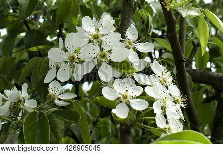 European Pear Blossom Pyrus Communis White Flowers Fruit Tree. Spring
