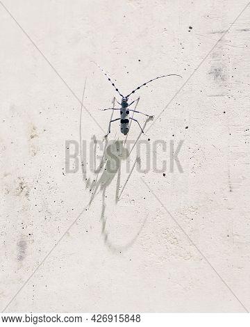 Rosalia Longicorn Beetle Casting A Monster Shadow With Its Impressive Bug Antennae