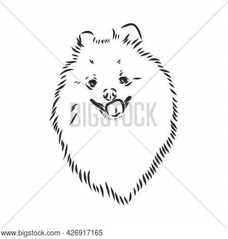 Vector Black And White Illustration Of Dog Breed Pomeranian Isolated On White Background Spitz Vecto