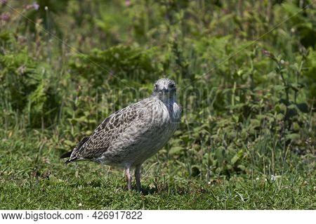 Young Lesser Black-backed Gull (larus Fuscus) Amongst The Vegetation Of Skomer Island In Pembrokeshi