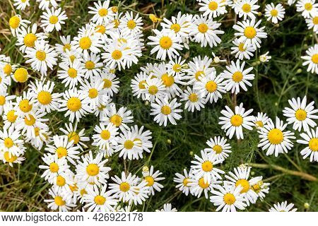 Pharmacy Chamomile Blooms In The Field. Collection Time Medicinal Plants. Close Up. Photo.
