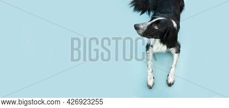 Portrait Of Cute Puppy Dog Border Collie Looking Up  Isolated On Blue Background. Obedience Concept