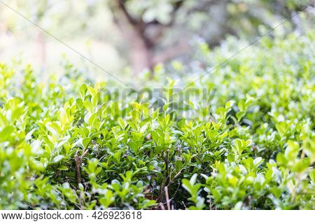 Green Leaves On Upper Surface Of Boxwood Hedge Close Up At Rural Yard On Summer Day (focus On The Le