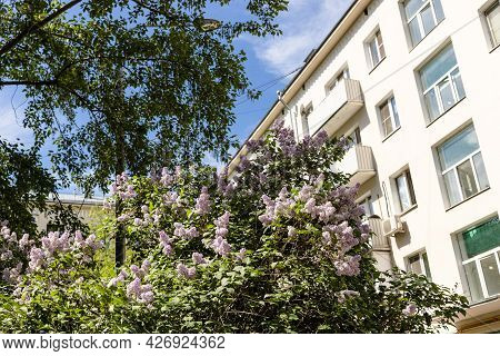 Bush Of Blooming Lilacs In Courtyard Of Residential House On Sunny May Day