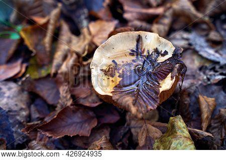 Fleecy Milk-cap Mushroom Or Lactifluus Vellereus With Water On The Cap In Wet Fallen Autumn Leaves