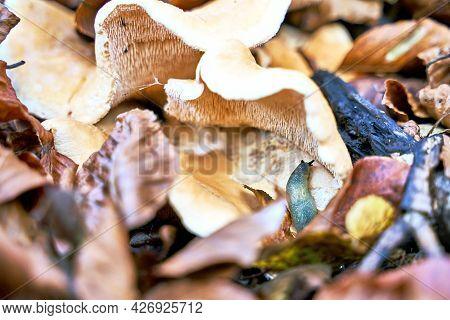 Carpathian Blue Slug Or Bielzia Coerulans Climbing Fleecy Milk-cap Mushroom Or Lactifluus Vellereus