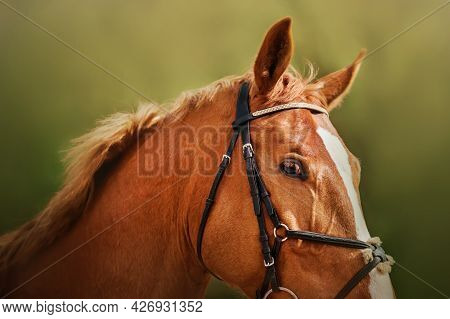 Portrait Of A Beautiful Sorrel Horse With A Bridle On Its Muzzle On A Sunny Summer Day Close-up. Equ