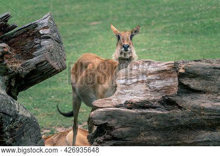 Young Barasingha, Rucervus Duvaucelii, Also Called Swamp Deer, Standing Behing Huge Fallen Tree Trun