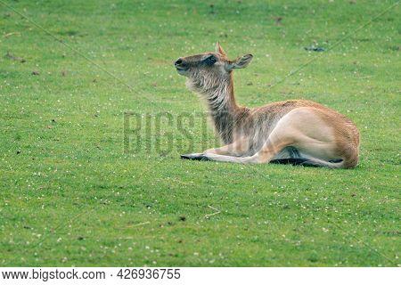 Young Barasingha, Rucervus Duvaucelii, Also Called Swamp Deer, Lying Down On A Grassy Ground. Deer S