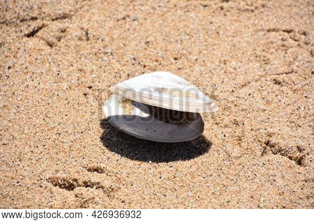 Clam Shell Open On Beach Sand On Cape Cod.