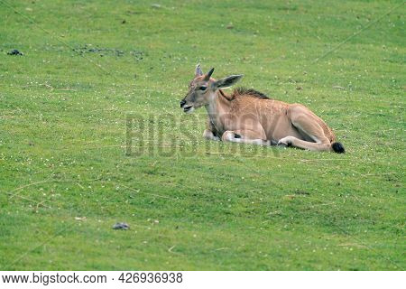 Detail Shot Of Young Common Eland, Taurotragus Oryx, Lying Down On A Grassy Ground. Savannah And Pla