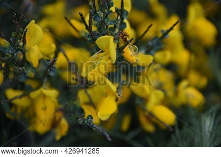 Yellow Blooming Common Broom Bush Flowering On The Cape.