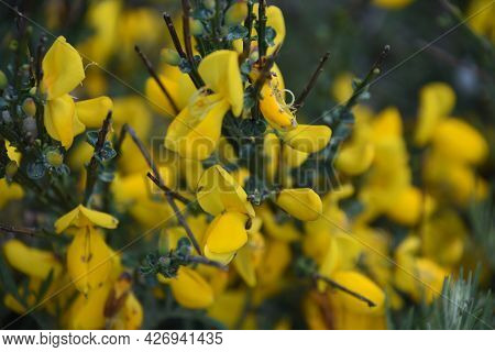 Flowering And Blooming Yellow Scotch Broom Bush In The Spring.